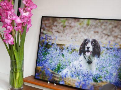 Milton Keynes Springer Spaniel dog