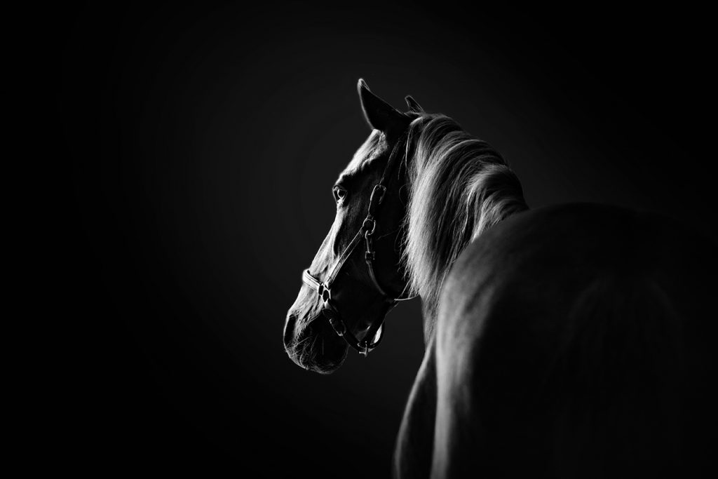 Equine horse portrait photography in Buckingham